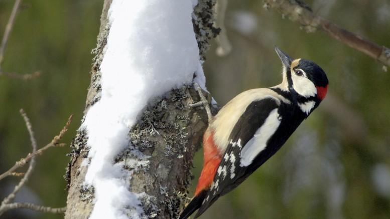 Kotipihalla voi havaita vaikkapa käpytikan. Kuva: Birdlife/Pekka Nurminen