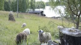 Luutsaaren idyllisessä perinnemaisemassa vietettävät lammaspaimenlomat ovat joka vuosi houkutelleet satoja hakijoita. Kuva: Anna Karhila
