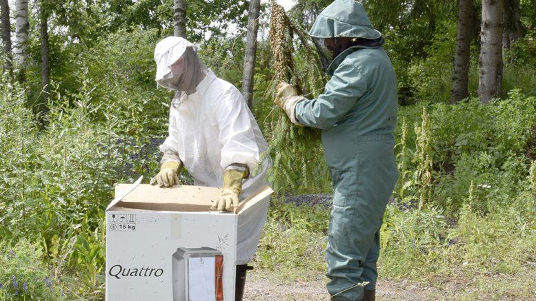 Juho Pohjonen (vas.) ja Kari Laatikainen laittavat mehiläisparven pahvilaatikkoon kuljetusta varten. (Kuva: Tuomo Hyttinen)